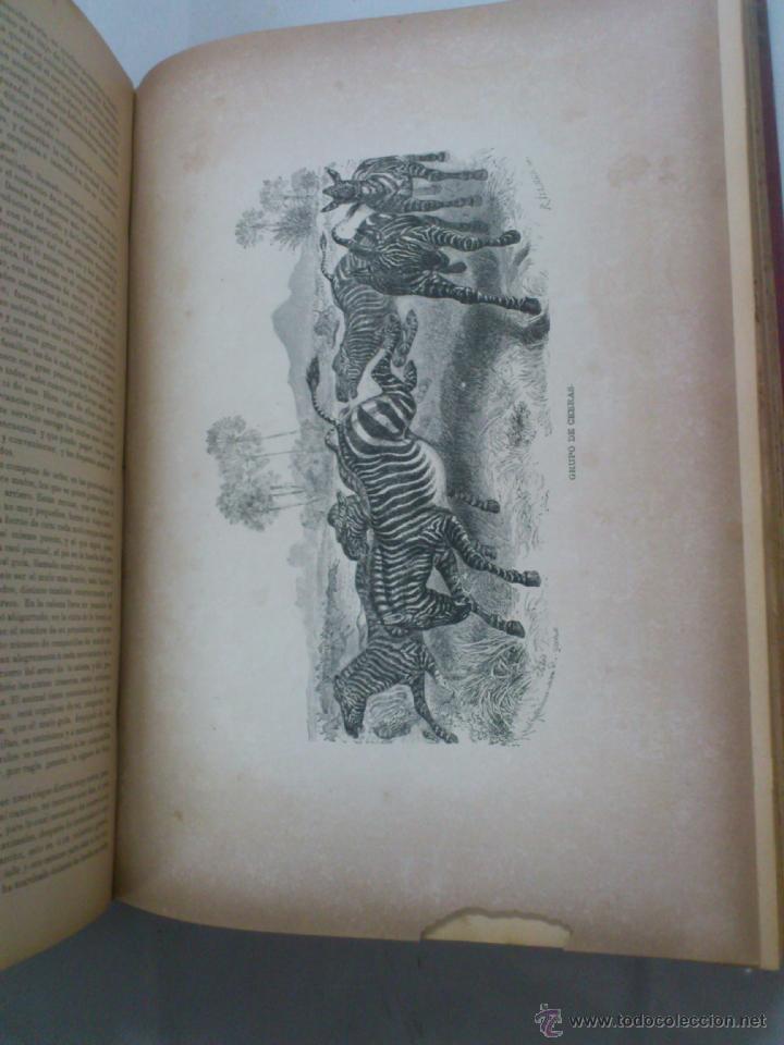 Libros antiguos: LA VIDA DE LOS ANIMALES. A.E.BREHM. TOMO II. MAMIFEROS. SEGUNDA EDICION ESPAÑOLA. FINALES S.XIX. - Foto 7 - 40421322