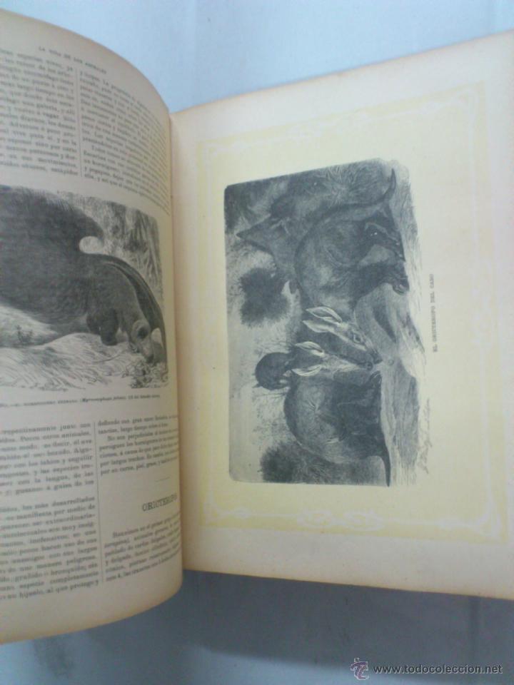 Libros antiguos: LA VIDA DE LOS ANIMALES. A.E.BREHM. TOMO II. MAMIFEROS. SEGUNDA EDICION ESPAÑOLA. FINALES S.XIX. - Foto 8 - 40421322