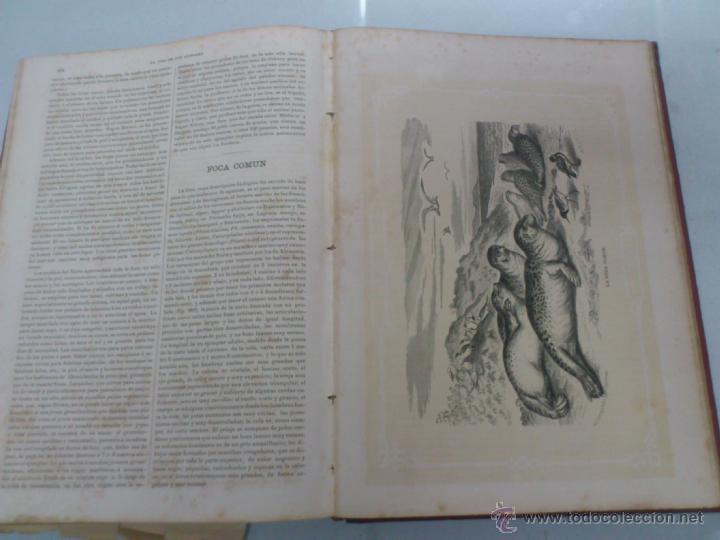 Libros antiguos: LA VIDA DE LOS ANIMALES. A.E.BREHM. TOMO II. MAMIFEROS. SEGUNDA EDICION ESPAÑOLA. FINALES S.XIX. - Foto 10 - 40421322