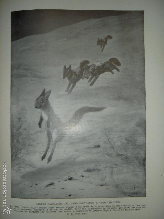 Libros antiguos: LOS ANIMALES DEL UNIVERSO (SU VIDA Y SUS COSTUMBRES) - J.B. DE AGUILAR-AMAT - EDIT. SEGUI HACIA 1920 - Foto 7 - 57731520