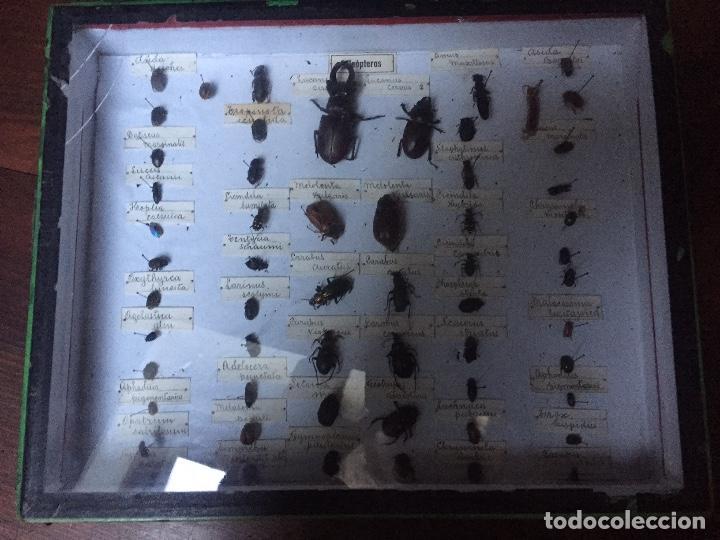 Libros antiguos: Antigua caja Etomológica insectos /coleópteros años 30/40, en caja de la época - Foto 2 - 74764563