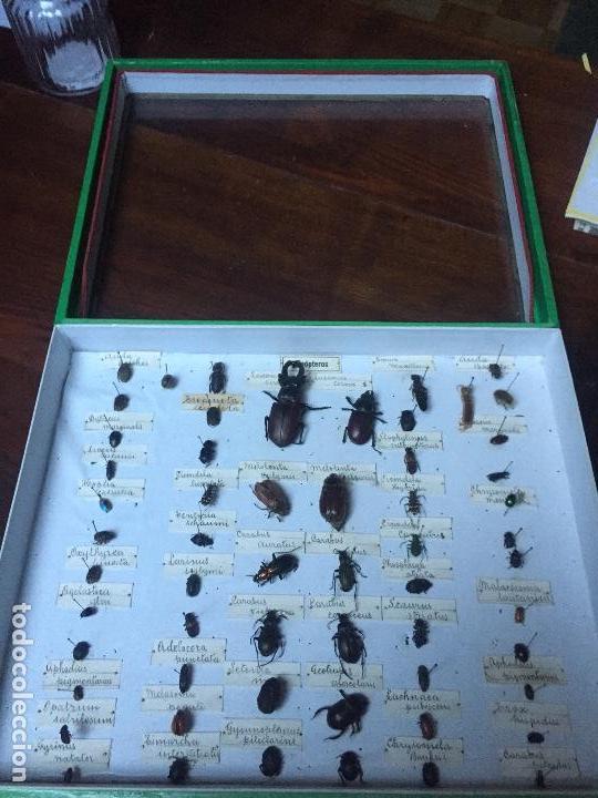 Libros antiguos: Antigua caja Etomológica insectos /coleópteros años 30/40, en caja de la época - Foto 4 - 74764563