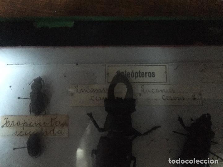 Libros antiguos: Antigua caja Etomológica insectos /coleópteros años 30/40, en caja de la época - Foto 6 - 74764563
