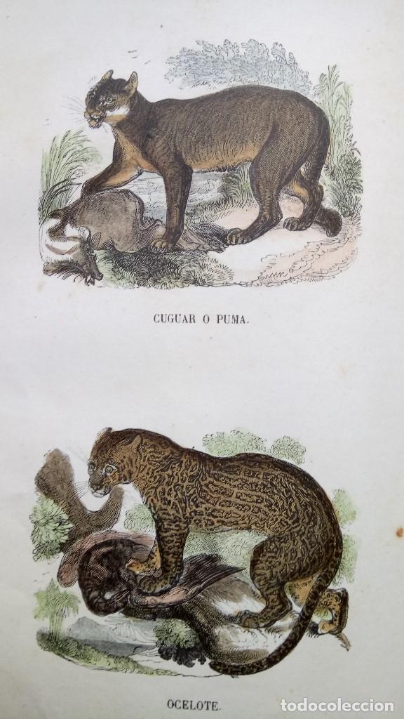Libros antiguos: LIBRO,LOS TRES REINOS DE LA NATURALEZA,AÑO 1852,BUFFON,TOMO I,DIBUJOS ILUMINADOS ANIMALES Y HOMBRES - Foto 10 - 127894075