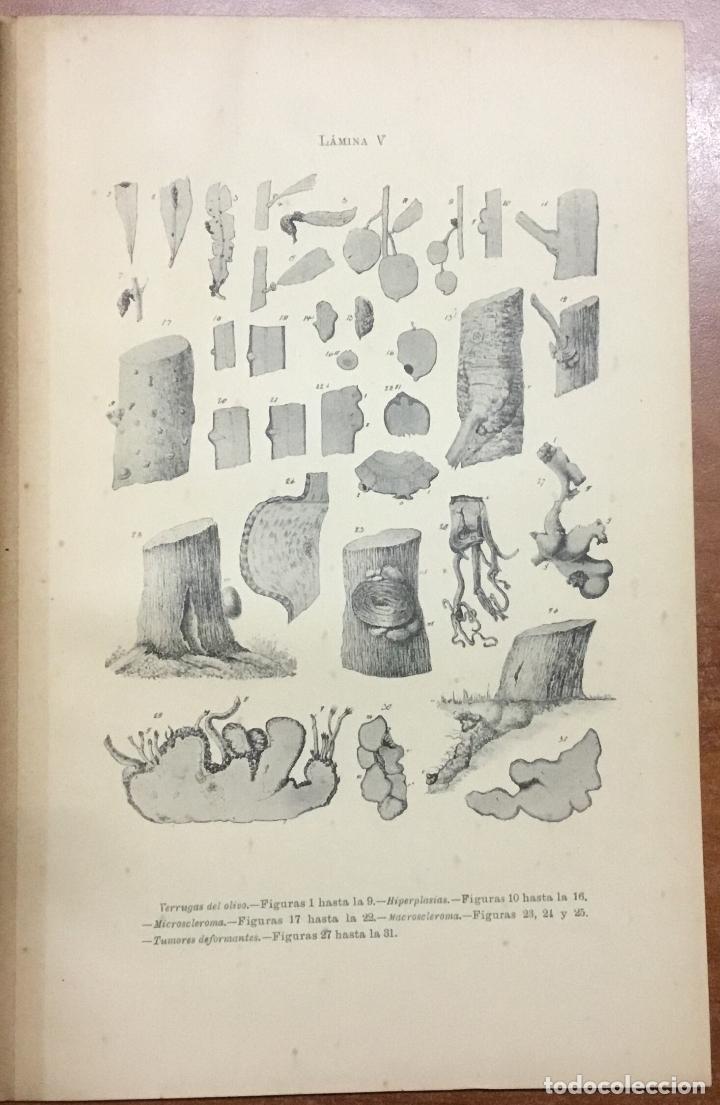 Libros antiguos: MEMORIA RELATIVA A LAS ENFERMEDADES DEL OLIVO. - NAVARRO, Leandro. MADRID, 1898. - Foto 6 - 123222798