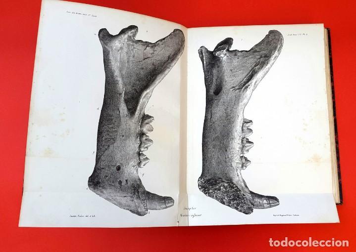Libros antiguos: PALEONTOLOGÍA - 1871 - DESCRIPTION OSSEMENTS DE FELIS SPELAEA - PLANCHES - HENRI FILHOL - Foto 6 - 150838514
