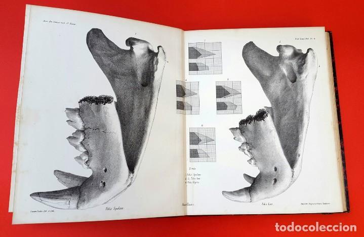 Libros antiguos: PALEONTOLOGÍA - 1871 - DESCRIPTION OSSEMENTS DE FELIS SPELAEA - PLANCHES - HENRI FILHOL - Foto 7 - 150838514