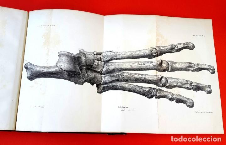 Libros antiguos: PALEONTOLOGÍA - 1871 - DESCRIPTION OSSEMENTS DE FELIS SPELAEA - PLANCHES - HENRI FILHOL - Foto 10 - 150838514
