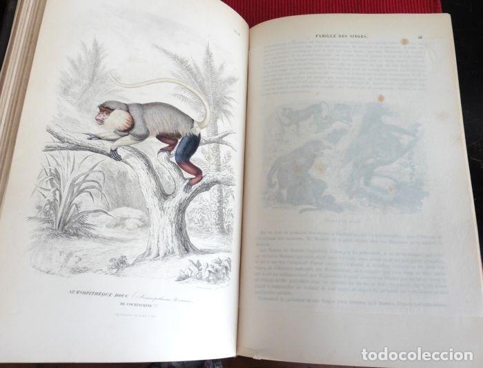 Libros antiguos: Paul Gervais - Histoire naturelle des Mammifères - 2 volumes - 1854/1855 - Foto 2 - 183014178