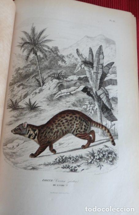 Libros antiguos: Paul Gervais - Histoire naturelle des Mammifères - 2 volumes - 1854/1855 - Foto 4 - 183014178