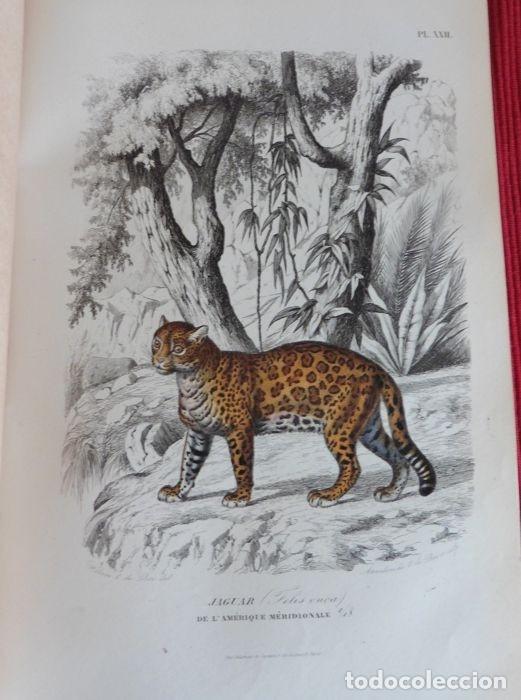 Libros antiguos: Paul Gervais - Histoire naturelle des Mammifères - 2 volumes - 1854/1855 - Foto 6 - 183014178