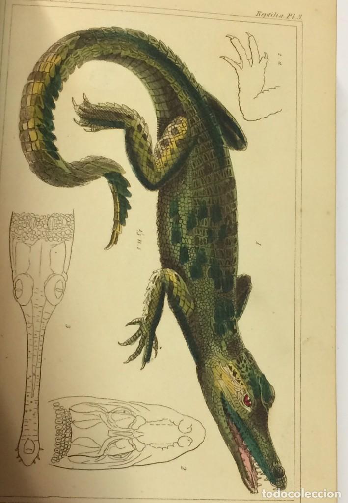Libros antiguos: AÑO 1834-1837 - GEORGES CUVIER THE ANIMAL KINGDOM - REINO ANIMAL MÁS DE 700 LITOGRAFÍAS COLOREADAS - Foto 9 - 183779962