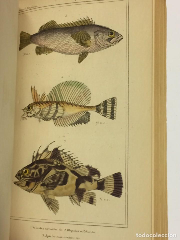Libros antiguos: AÑO 1834-1837 - GEORGES CUVIER THE ANIMAL KINGDOM - REINO ANIMAL MÁS DE 700 LITOGRAFÍAS COLOREADAS - Foto 11 - 183779962