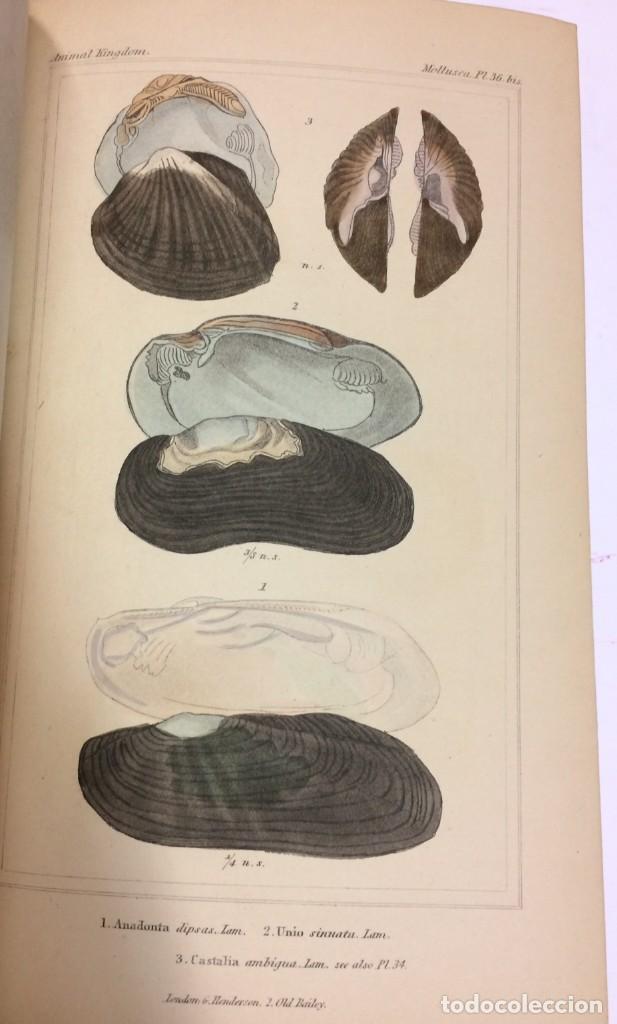Libros antiguos: AÑO 1834-1837 - GEORGES CUVIER THE ANIMAL KINGDOM - REINO ANIMAL MÁS DE 700 LITOGRAFÍAS COLOREADAS - Foto 15 - 183779962