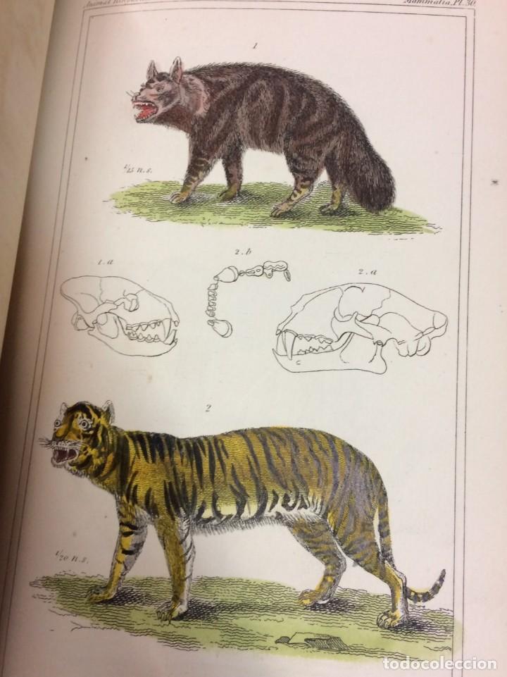 Libros antiguos: AÑO 1834-1837 - GEORGES CUVIER THE ANIMAL KINGDOM - REINO ANIMAL MÁS DE 700 LITOGRAFÍAS COLOREADAS - Foto 20 - 183779962
