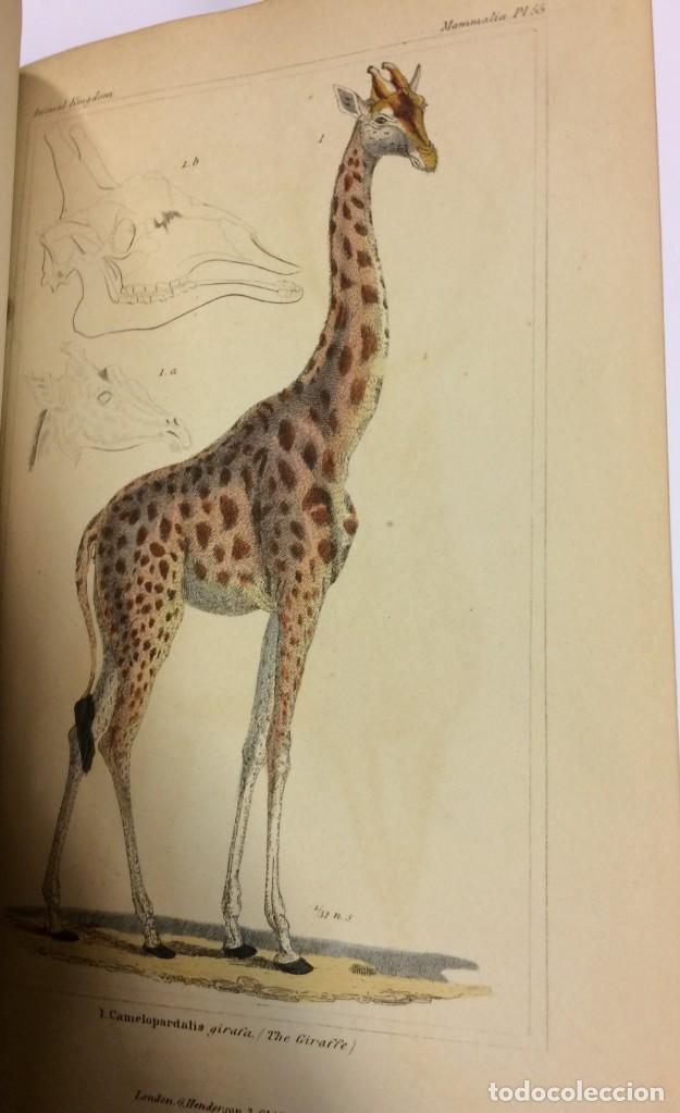 Libros antiguos: AÑO 1834-1837 - GEORGES CUVIER THE ANIMAL KINGDOM - REINO ANIMAL MÁS DE 700 LITOGRAFÍAS COLOREADAS - Foto 23 - 183779962