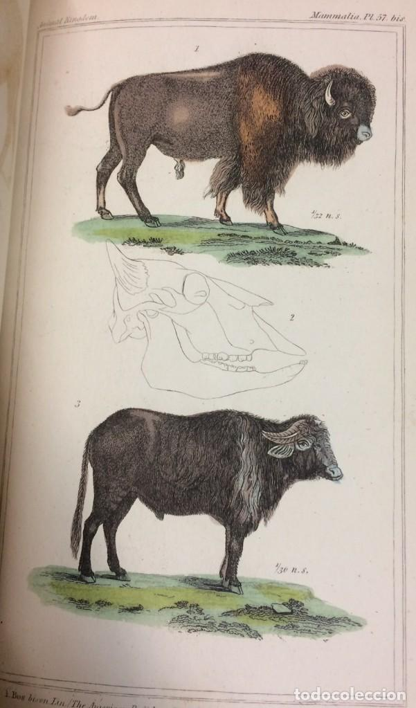 Libros antiguos: AÑO 1834-1837 - GEORGES CUVIER THE ANIMAL KINGDOM - REINO ANIMAL MÁS DE 700 LITOGRAFÍAS COLOREADAS - Foto 24 - 183779962