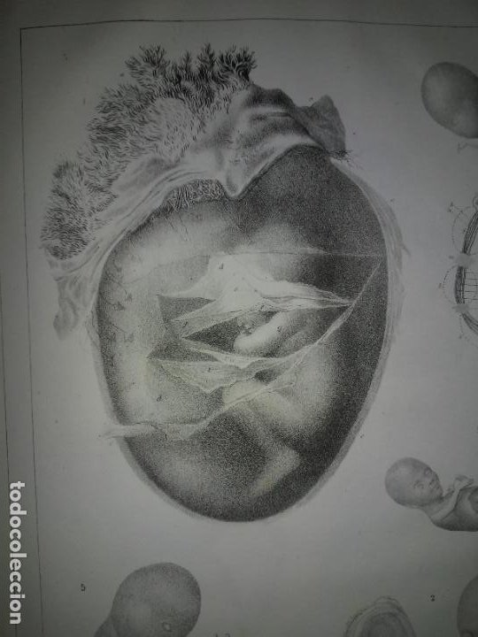 Libros antiguos: EMBRIOLOGIA O OVOLOGIA HUMANA - AÑO 1834 - VELPEAU - BELLAS PLANCHAS EN FOLIO. - Foto 9 - 229213030