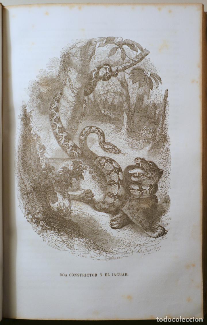 Libros antiguos: BOITARD, M. - MUSEO DE HISTORIA NATURAL. MAMÍFEROS - Barcelona 1850 - Muy ilustrado - Foto 4 - 254918585