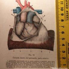 Libros antiguos: ANTIGUO GRABADO CUERPO HUMANO MEDICINA AÑO 1900 MEDICO CARDIOLOGO CARDIOLOGIA - CORAZON . Lote 115615415