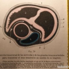 Libros antiguos: ANTIGUO GRABADO CUERPO HUMANO MEDICINA AÑO 1900 MEDICO CARDIOLOGO CARDIOLOGIA - CORAZON . Lote 115615623
