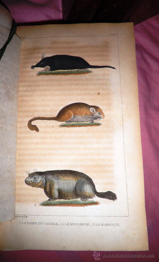 Libros antiguos: OBRAS DE BUFFON - AÑO 1842 - BELLA EDICION ILUSTRADA CON GRABADOS EN COLOR. - Foto 7 - 36367937