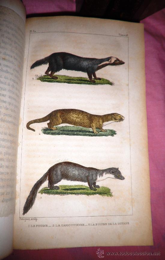 Libros antiguos: OBRAS DE BUFFON - AÑO 1842 - BELLA EDICION ILUSTRADA CON GRABADOS EN COLOR. - Foto 8 - 36367937