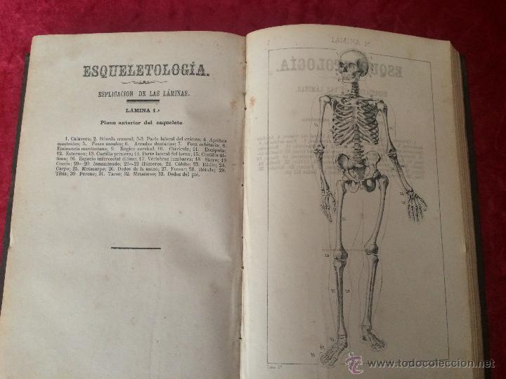 Libros antiguos: Julian Calleja.Tratado Anatomía Humana.Valladolid 1869. 4 tomos.99 láminas color.Miologia.Angiologia - Foto 7 - 53600312
