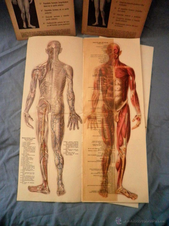 anatomia del cuerpo masculino y femenino - año - Comprar en ...
