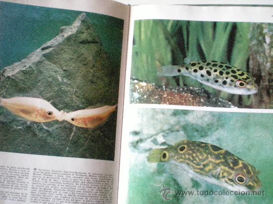 Libros de segunda mano: peces de acuario editorial teide s.a.barcelona instituto geografico de agostini de 64 paginas ilustr - Foto 3 - 33523562