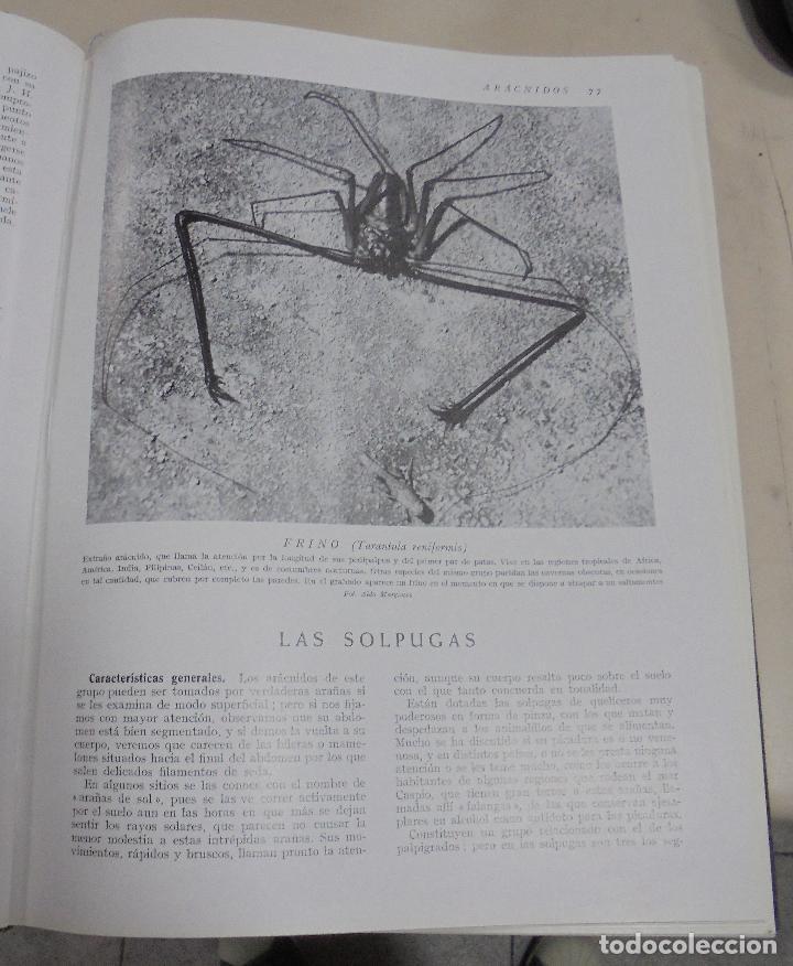 Enciclopedias de segunda mano: HISTORIA NATURAL. TOMO II. ZOOLOGIA (INVERTEBRADOS). 5º EDICION. INSTITUTO GALLACH. BARCELONA. 1960 - Foto 10 - 79088081