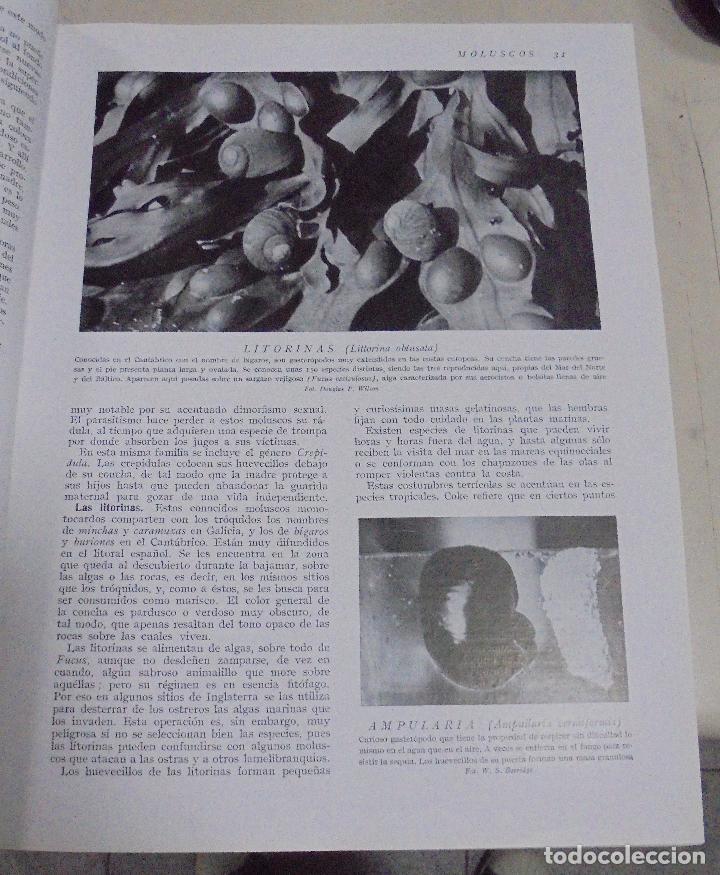 Enciclopedias de segunda mano: HISTORIA NATURAL. TOMO II. ZOOLOGIA (INVERTEBRADOS). 5º EDICION. INSTITUTO GALLACH. BARCELONA. 1960 - Foto 11 - 79088081