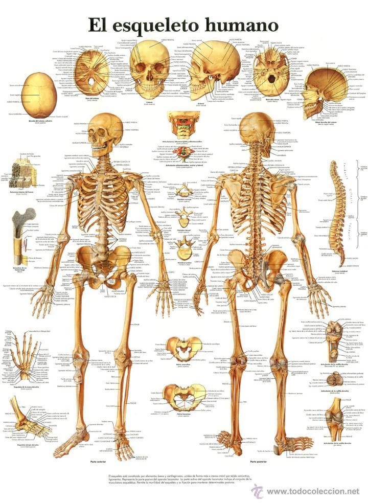 poster / lamina el esqueleto humano - Comprar Libros de medicina ...