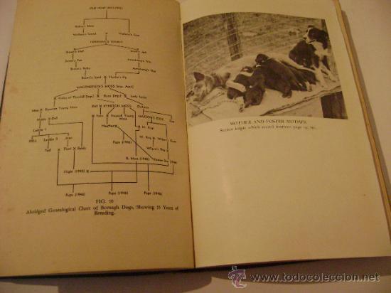 Libros de segunda mano: SHEEP DOGS. Autor: R.B. KELLEY.Perros Ovejeros. - Foto 3 - 9095544