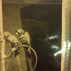 Militaria: LOROS FOTO SACADA EN GUERRA CIVIL 1939 MES XI INSTITUTO DE LA LAGUNA . Lote 127018219