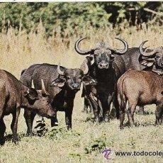 Postales: +-+ PV509 - AFRICAN WILDLIFE - BUFALOS - SIN CIRCULAR. Lote 36406750