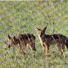Postales: +-+ PV858 - WILDLIFE OF KENYA - JACKAL. Lote 36406758