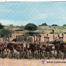 Postales: +-+ PV512 - WILDLIFE OF KENIA - OSTRICH - SIN CIRCULAR. Lote 36406769
