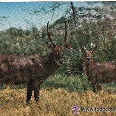 Postales: +-+ PV508 - AFRICAN WILDLIFE - WATERBUCK - SIN CIRCULAR. Lote 36406783