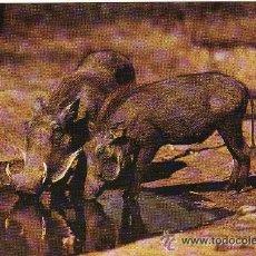Postales: +-+ PV725 - WILDLIFE EAST AFRICAN - WART HOG. Lote 36406792