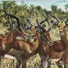 Postales: +-+ PV507 - WILDLIFE - EAST AFRICA - IMPALAS. Lote 36406804