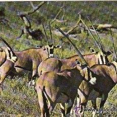 Postales: +-+ PV513 - WILDLIFE OF KENIA - ORYX - SIN CIRCULAR. Lote 36406865