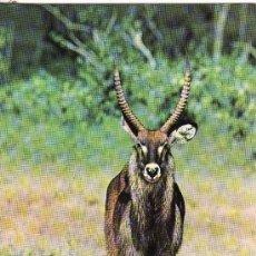 Postales: +-+ PV885 - POSTAL - WILDLIFE OF KENYA - WATERBUCK. Lote 36406871