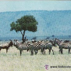 Postales: ** PV869 - POSTAL - NAIROBI - KENYA - BURCHELL´S ZEBRA - SIN CIRCULAR. Lote 36406889