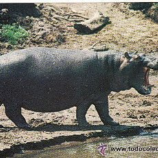 Postales: +-+ PV867 - POSTAL - NAIROBI - KENYA - HIPPOPOTAMUS - SIN CIRCULAR. Lote 36406897