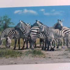 Postales: KENYA-AFRICAN WILDILFE-ZEBRA-TARJETA POSTAL. Lote 86748904