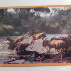 Postales: KENYA-AFRICAN WILDILFE-IMPALAS & KONGONIS-TARJETA POSTAL. Lote 86749680