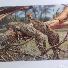 Postales: AFRICAN WILDILFE-CHEETAHS-KENYA-TARJETA POSTAL. Lote 86749928