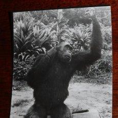 Postales: FOTO POSTAL DE GUINEA ESPAÑOLA, GORILA, FOTO H. GARCIA, NO CIRCULADA.. Lote 104276643