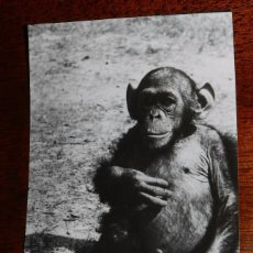 Postales: FOTO POSTAL DE GUINEA ESPAÑOLA, GORILA, FOTO H. GARCIA, NO CIRCULADA.. Lote 104276755
